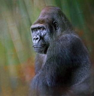 Portrait Of A Lowland Gorilla