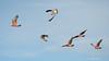 Sparrowhawk Pursuit (The Gullet) Tags: southaustralia aldinga nikond500 300f4 sparrowhawk collaredsparrowhawk galah pursuit prey chase predator raptor adelaide