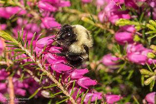 Bourdon sur fleur Erica / Bumblebee on Erica flower