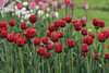 Tulips (Corrynes) Tags: flowerets flowers flower redflowers flora tulip tulips nikon kaleinar5h kaleinar5n nature naturephoto springflower greenandred