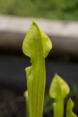Sarracenia oreophila (Green Pitcher Plant) (jimf_29605) Tags: sarraceniaoreophila greenpitcherplant frontyard boggarden greenville southcarolina sony a7rii 90mm
