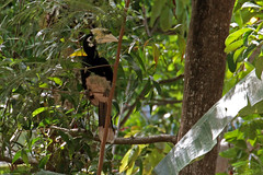 Oriental Pied Hornbill (Tim Aldworth) Tags: birds camera capepanwa ef70300mmf456lis eos7d hornbill kohtapaoyai orientalpiedhornbill thailand jungle island phuket