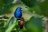 Lipstick (PeterBrannon) Tags: bird bluebird florida fortdesoto indigobunting migration mulberry nature passerinacyanea perched wildlife