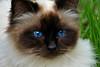 Blue Eyes (Gerald Lang) Tags: sonyalpha7ii sonya7ii katze cat blau blue sonyilce7m2 chat portrait bleu auge eye œil tamronaf90mm128macro11 import08042018
