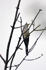 Yellow-billed Cuckoo (U.S. Fish and Wildlife Service - Midwest Region) Tags: 2018 nature mn cuckoo bird birding may seasons minnesota spring wildlife animal