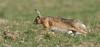 Brown Hare - Lepus europaeus (rosebudl1959) Tags: 2016 brownhares dorset