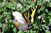 Tiger swallowtail on Calystegia (TJ Gehling) Tags: insect lepidoptera butterfly papilionidae swallowtail swallowtailbutterfly tigerswallowtail westerntigerswallowtail papilio papiliorutulus plant flower solanales convolvulaceae morningglory bindweed calystegia canyontrailpark elcerrito