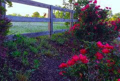 Knockout Roses Along, The Fence Line............ Explored # 32 (~ Cindy~) Tags: neighborsknockoutroses alongthefenceline tennessee hff 7dwf 612018 explored frontpage