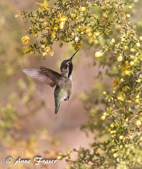 A beautiful morning (Anne Marie Fraser) Tags: costashummingbird hummingbird morning beautiful bird tree flowers macro nature wildlife arizona pretty