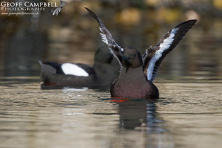 Black Guillemot (Cepphus grylle) in Action
