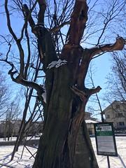 Pomnik Przyrody - dąb Mieszko I / Natural monument - oak Mieszko I (basiamarcisz) Tags: pomnikprzyrody naturalmonument monument przyroda nature natura trees tree drzewa drzewo dąb oak