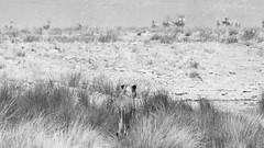 Lioness (C McCann) Tags: namibia etosha lioness africa lion cat hunting