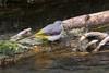 Gebirgsstelze (Motacilla cinerea) (AchimOWL) Tags: deutschland tiere lumix tier natur wildlife nature animal gh5 vogel bird outdoor owl ostwestfalen singvögel passeri wasser flus bergstelze pader stelze pieper motacillidae sperlingsvogel passeriformes paderborn