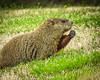 Woodchuck IMG_7705 (bill.niven) Tags: woodchuck