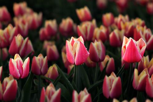 Tulips82