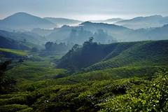Cameron Highlands - Boh Tea Plantation 17 (luco*) Tags: malaisie malaysia cameron highlands boh tea plantation thé montagne hills collines arbres brume brouillard mist matin morning landscape paysage flickraward flickraward5 flickrawrad5