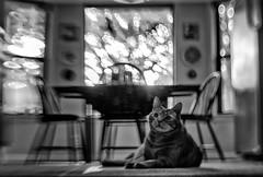 Lensbaby Kitty (Anne Worner) Tags: anneworner blackandwhite flash lensbaby silverefex sweet35 bw backlight bend blur cat chairs composerpro ears feline looking mono onthefloor reclining table tomcat whiskers window