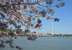 DSC_0054 (afagen) Tags: washington dc washingtondc districtofcolumbia tidalbasin cherryblossom sakura blossom washingtonmonument
