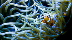 Hide and Seek (Pat Photographs) Tags: colour wildlife wildlifephotography fish nemo underwaterphotography coralreef animals vividcolour depth depthoffield nokialumia735 explore exploretheworld submerged bestcameraistheoneyouhavewithyou nature naturephotography aqua blue natureaddict visualpleasure