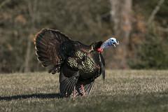 Wild Turkey (a56jewell) Tags: a56jewell turkey april spring