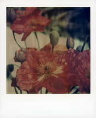 Fade To Poppies (tobysx70) Tags: polaroid sx70 timezero tz fadetoblack f2b artistic atz instant film expired 1009 the impossible project tip roidweek roid week polaroidweek spring april 2018 fade to poppies beachwood canyon hollywood hills los angeles la california ca papaver nudicaule iceland plant flower flora red petals buds bokeh day2 toby hancock photography