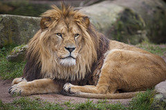 Lion (DeanB Photography) Tags: animal animals tiere tier tierwelt tierfotograf zoo zoohannover zootiere hannover canon julius jaguar löwe lion wild wolf wildpark wolves