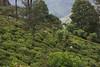 Tea estate (JohnMawer) Tags: srilanka teaestate tea teapicker