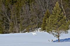 """""""white lightning""""......::)) (KvikneFoto) Tags: hare vinter snø winter tamron nikon natur norge hedmark kvikne"""