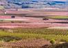 Lleida en colors (jocsdellum) Tags: aitona lleida catalunya fruiters floració camps fieldsofflowers floración2018 presseguers ametllers verd green rosa pink blanc white