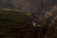 Segelflug (Karsten Höhne) Tags: helgoland felsen vogel möwe flug
