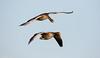 Greylag Geese (Steve (Hooky) Waddingham) Tags: animal flight rutland wild wildlife water wildfowl countryside coast nature bird british