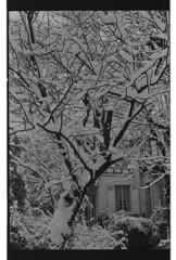 P59-2018-022 (lianefinch) Tags: argentique argentic analogique analog blackandwhite blackwhite bw noirblanc noiretblanc nb monochrome neige snow arbre tree jardin garden outdoor extérieur