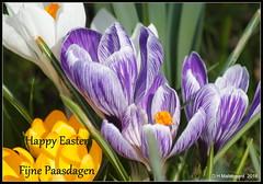 Fijne Paasdagen! (ditmaliepaard) Tags: pasen happyeaster bloemen flowers crocussen