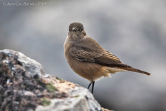 Familiar Chat (Cercomela familiaris) (Jeluba) Tags: 2018 afriquedusud canon capetown cercomelafamiliaris familiarchat lecap rostschwanz southafrica traquetfamilier aves bird birdwatching nature oiseau ornithology wildlife jeluba jeanlucbaron horizontal