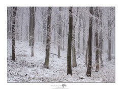 Nutwith Snow (shaun.argent) Tags: woodland woods trees tree winter seasons snow snowfall shaunargent nutwith masham morning mist misty yorkshire flora
