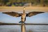 Up the wings (Dani (Atrus)) Tags: cormorángrande greatcormoran phalacrocoraxcarbo jdanielfernández elrincóndelosprotegidos españa spain fauna naturaleza aves birds nikon