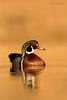 Wood Duck Drake (Jim Fields Photography) Tags: woodduck aixsponsa waterfowl marsh wetland goldenhour light duck woodduckdrake water virginiawildlife westvirginiawildlife jimfieldsphotography birdphotography wildlifephotography