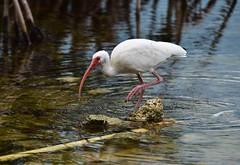 White Ibis (Key Largo) (orientalizing) Tags: animals birds brackish coast everglades evergladesnationalpark florida floridakeys keylargo keys mangroveswamp usa whiteibis