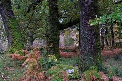 Quercus petraea (Nelleke C) Tags: 2017 autumn countymayo erriffwood quercuspetraea fagaceae flora herfst holiday ierland ireland landscape landschap loofbos sessileoak vakantie wintereik woodland