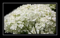 The Wonder of White (Audrey A Jackson) Tags: canon60d cotonmanor northamptonshire flower macro closeup white petals nature