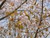 18o8065 (kimagurenote) Tags: 桜 sakura cherry blossom prunus cerasus flower tree 多摩森林科学園 tamaforestsciencegarden 東京都八王子市 hachiojitokyo