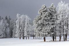 Frosty Trees (murph le) Tags: frost frosty trees snow spring landscape light grey
