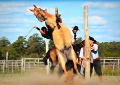 Mauro Passos (Eduardo Amorim) Tags: gaúcho gaúchos gaucho gauchos cavalos caballos horses chevaux cavalli pferde caballo horse cheval cavallo pferd crioulo criollo crioulos criollos cavalocrioulo cavaloscrioulos caballocriollo caballoscriollos pampa campanha fronteira bagé riograndedosul brésil brasil sudamérica südamerika suramérica américadosul southamerica amériquedusud americameridionale américadelsur americadelsud cavalo 馬 حصان 马 лошадь ঘোড়া 말 סוס ม้า häst hest hevonen άλογο brazil eduardoamorim gineteada jineteada