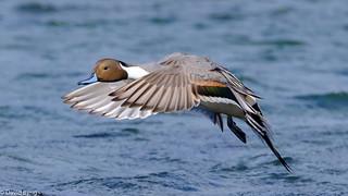 Pintail Drake Landing