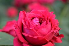 Rose 'Rose des 4 vents' raised in France (naruo0720) Tags: rose frenchrose rosedes4vents bredbydelbard larosedes4vents 薔薇 ばら バラ フランスのバラ フレンチローズ ローズデキャトルヴァン デルバールのバラ sigmalenses