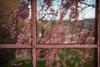 Window of Blossoms (amarilloladi) Tags: pink raindrops glass windowpanes glaze weepingcherrytree windows blossoms spring 7dwf flora flowers