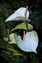 Tropical Beauties (MrBlueSky*) Tags: flower plant petal green white nature garden horticulture kewgardens royalbotanicgardens london pentax pentaxart pentaxlife pentaxk1 pentaxawards pentaxflickraward aficionados