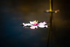 Outdoor weekend with Sakura blossom (CsiziPhoto) Tags: nikkorpauto105cmf25 nikon d610 sakura
