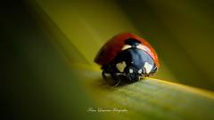 Despacito (franlaserna) Tags: nikon sigma sigma105 animal nature macrophotography macro bug lady