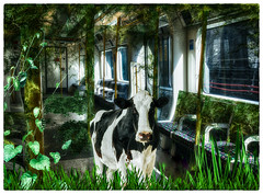 Holy Cow (Swissrock-II) Tags: contest challenge photoshop lightroom photomanipulation photoshopart png cow carriage andykobel 2018 deviantart surreal surrealart
